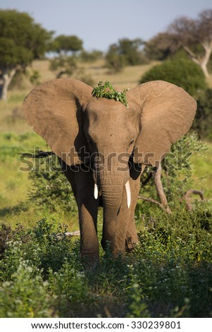 A vertical, side lit, colour image of the front view of an elephant with one tusk shorter than the other, standing with foliage on his head and ears out in Mashatu Game Reserve, Botswana. - stock photo