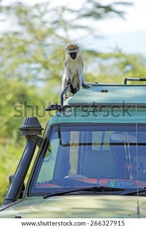 A vervet monkey, Chlorocebus pygerythrus, sitting on the canopy car of a jeep, at Serengeti National park, Tanzania - stock photo