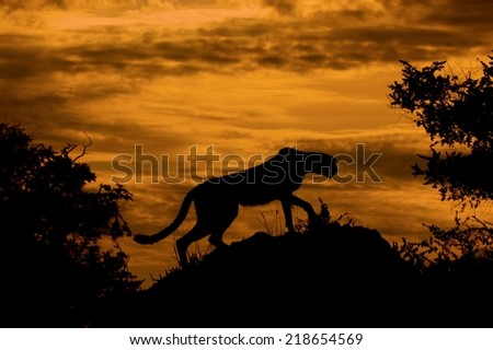 A very atmospheric image: a Cheetah (Acinonyx juvatus) searching for prey from a termite mound, silhouetted against a fiery orange sunset. Okavango Delta, Botswana - stock photo