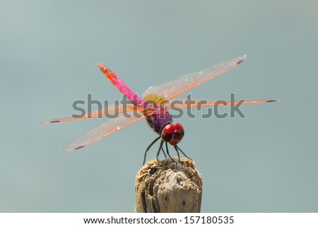 A very beautiful pink, red, purple and orange dragonfly The Violet Dropwing (Trithemis annulata) from West Africa - stock photo