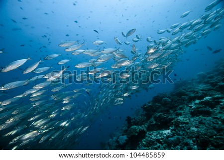 A very big Thazard Sierra Caesionidae shoal in deep blue of Ari atoll - Maldives. - stock photo