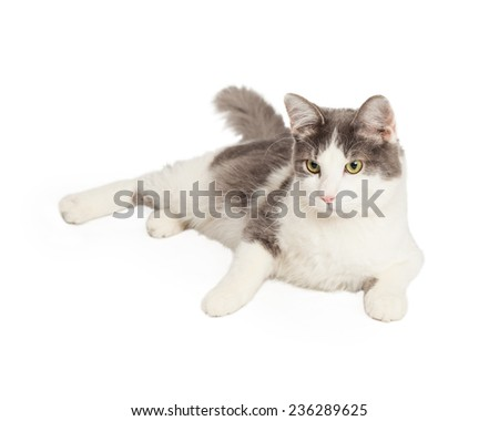 A very calm Domestic Longhair Cat laying with legs outstretched and looking off to the side. - stock photo