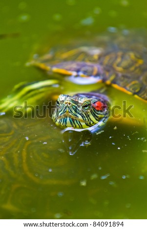 A very colourful Mexican red eared turtle warms up at the surface of a shallow pond in Mexico. - stock photo