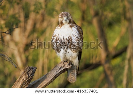 A very cooperative Red-tailed Hawk perches on an old snag as the early morning sun lights up the day. - stock photo