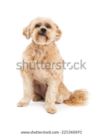 A very cute and grumpy Maltese and Poodle Mix Dog sitting while looking into the camera. - stock photo
