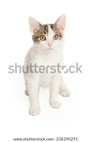 A very cute Domestic Short-hair Kitten sitting while looking into the camera.  - stock photo