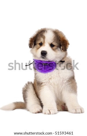 a very cute furry bucovinean shepard puppy over white - stock photo