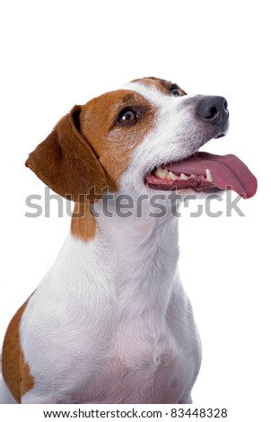 A very cute Jack Russell Terrier - stock photo