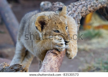 A very cute little lion cub leaning on a branch