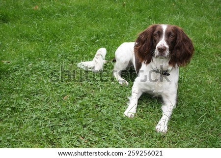 a very cute liver and white working type english springer spaniel pet gundog - stock photo