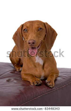 A very cute red short-haired Dachshund lying on a burgundy leather chair - stock photo