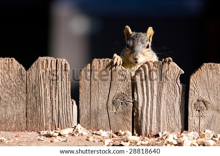 A very cute squirrel looking over a wood fence. - stock photo