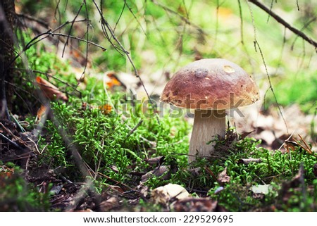 A very delicious and salubrious mushroom Porcini or Cep in it's natural habitat.  - stock photo