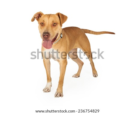 A very friendly Staffordshire Bull Terrier Mix Breed Dog standing at an angle with its mouth open.  - stock photo