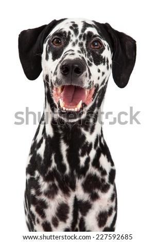 A very happy Dalmatian Dog smiling at the camera. - stock photo
