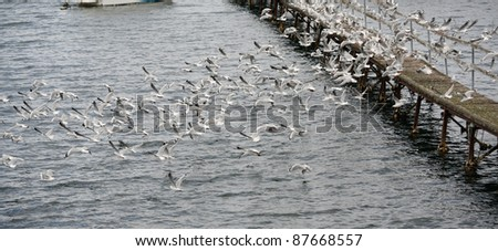 A very large flock of Seagulls on a jetty taking off and in flight