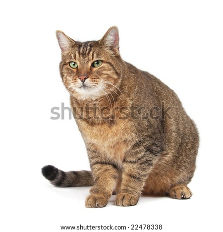 A very large friendly cat on white. - stock photo