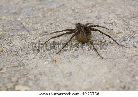 A very large spider (a Wolf or Fishing spider I think) carrying its egg sac. - stock photo