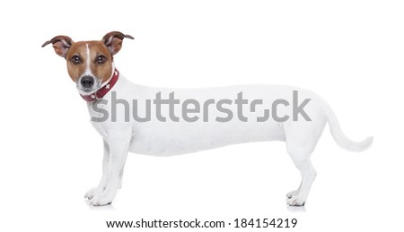a very long white jack russel terrier looking to you - stock photo