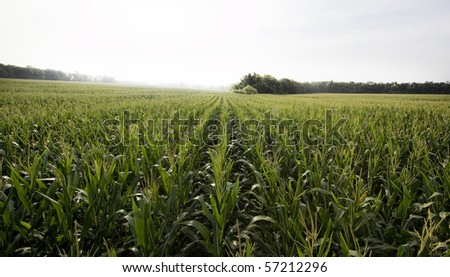 A very nice corn field in a cloudy day - stock photo