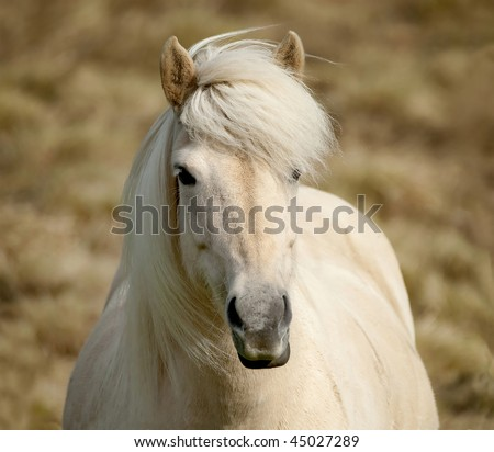 A very pretty white Icelandic pony posing for the camera. - stock photo