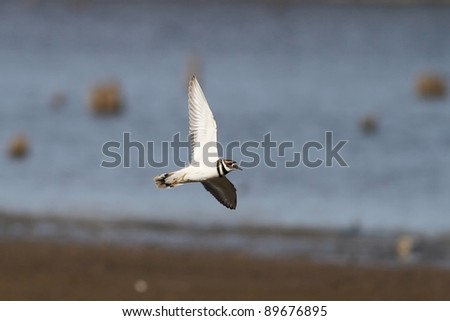 A very rare capture of a Killdeer in flight over a lake in Missouri. - stock photo
