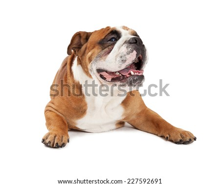 A very relaxed English Bulldog laying with outstretched paws while looking sideways.  - stock photo