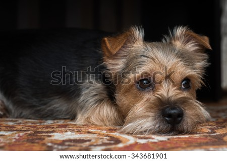 A very sad York Terrier dog looks out from under the table