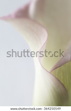 A very, shallow depth of field used to capture the curved edge of a calla lily petal.  - stock photo