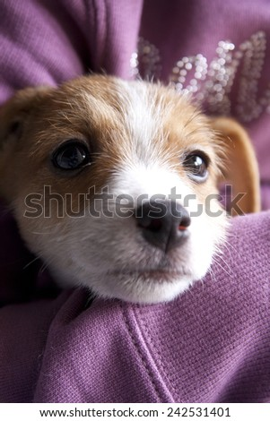 A very sweet puppy of Jack Russel