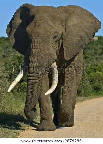 A very tall African elephant Strides down the road - stock photo