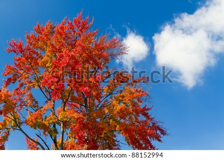 A very tree sporting autumn foliage stands against a blue sky with white clouds on a sunny autumn day.