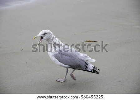 A very vocal seagull walking on the beach