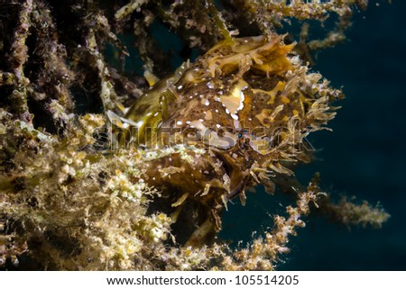 A very well camouflaged Sargassum Frogfish hides in seaweed on a shallow water buoy line.  The extended stomach shows the fish has recently eaten a large meal. - stock photo