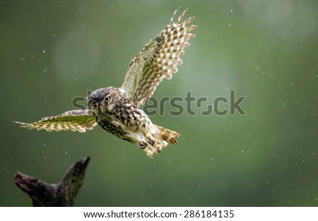 A very wet little owl flying through the rain - stock photo