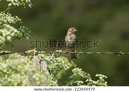 A Vesper Sparrow (Pooecetes gramineus) perches on a barbed wire fence amidst wildflowers at Kolob Reservoir nearby Zion National Park, Utah. - stock photo