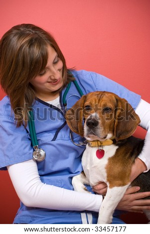 A veterinarian checking out a beagle dog.