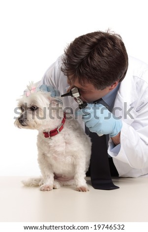 A veterinarian checking the ears of a small white maltese terrier - stock photo