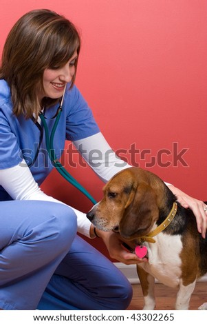 A veterinarian tends to a sick beagle dog and listens to his heart with a stethoscope. - stock photo