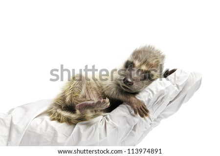 A veterinary technician examines a raccoon in front of a white background. - stock photo