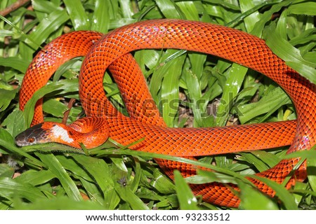 A Vibrant False Coral Snake (Oxyrhopus sp.) in the Peruvian Amazon - stock photo