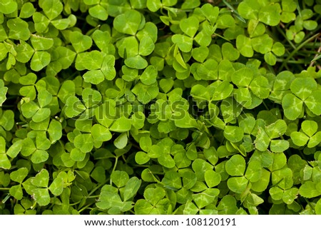 a vibrant green clover patch in the spring - stock photo