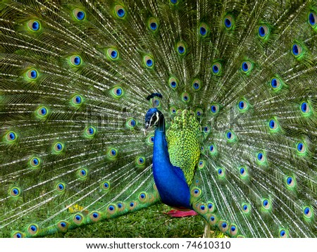 A vibrant peacock strutting his stuff - stock photo