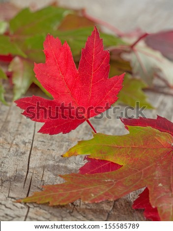 a vibrant red maple leaf on a wooden background - stock photo