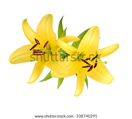 A vibrant spray of golden yellow Asiatic lily flowers (Lilium bulbiferum croceum) and buds, isolated on white with clipping path. - stock photo