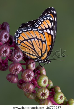A viceroy butterfly is sitting on a branch of pokeweed.