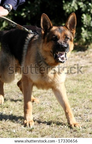 A vicious police dog baring it's teeth and barking - stock photo