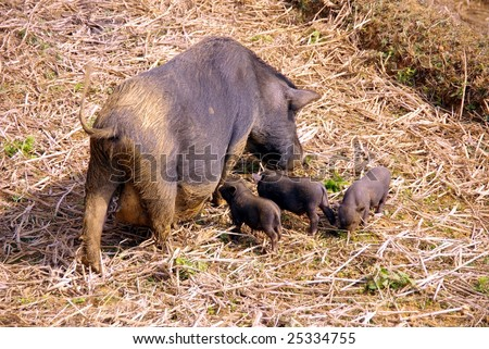 A Vietnamese pot bellied pig with three young ones - stock photo