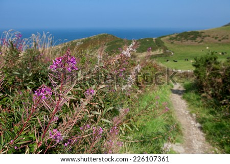 A view from the South West Coast Path on a sunny afternoon near Tintagel in Cornwall, England.  Focus on the flower. - stock photo