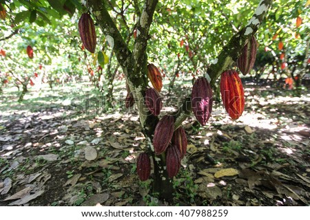 A view of a cacao plantation in Huayhuantillo village near Tingo Maria in Peru, 2011 - stock photo